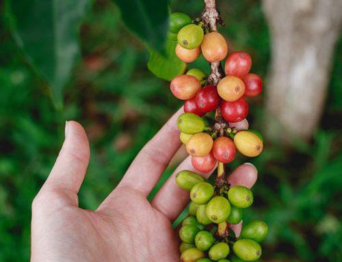 Wie funktioniert das eigentlich mit dem Kaffeeanbau?
